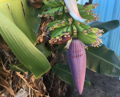 Will that 400PPM CO2 wilt my Banana tree?